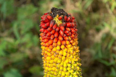 Titan arum seeds in green nature,Thailand