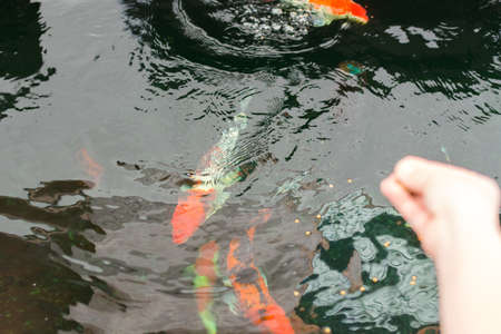 Beautiful Japanese koi carp in a tropical pond