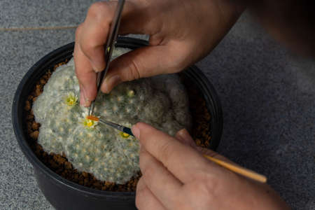 Farmer are squeezing small pliers for Cactus pollination 版權商用圖片