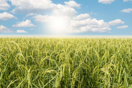 Field rice with cloud sky background