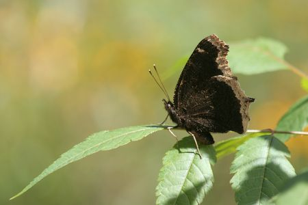 dark butterfly or Mourning Cloak Stock Photo - 245774