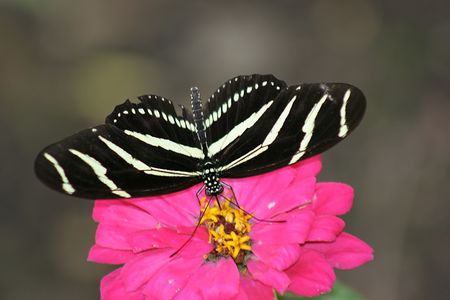 Zebra butterfly photo
