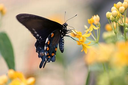 Pipe-vine Swallowtail butterfly Stock Photo - 245750