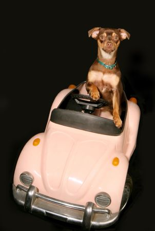 miniature pincher driving in convertible