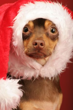 this little puppy is ready to help all decked out in his santa hat  photo