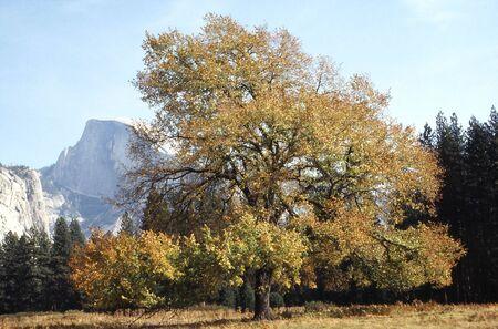beautiful fall colored oak in Yosemite Valley Stock Photo - 302412