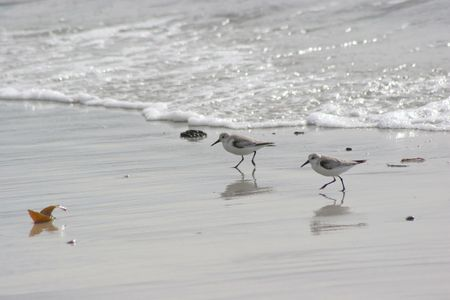 seabirds running in the shoreline at pebble beach California