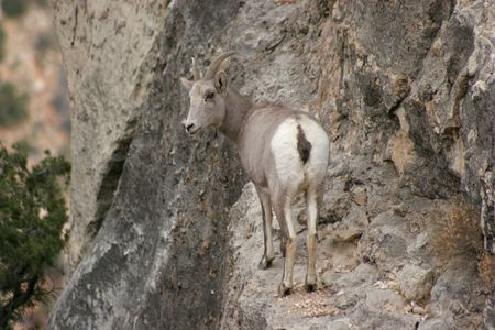 wild mountain goat walks on thin trail on the edge of the Grand Canyon