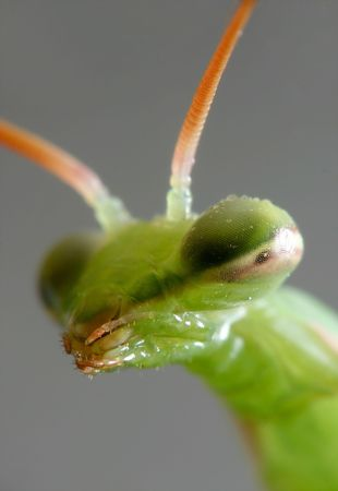 portrait of mantis photo