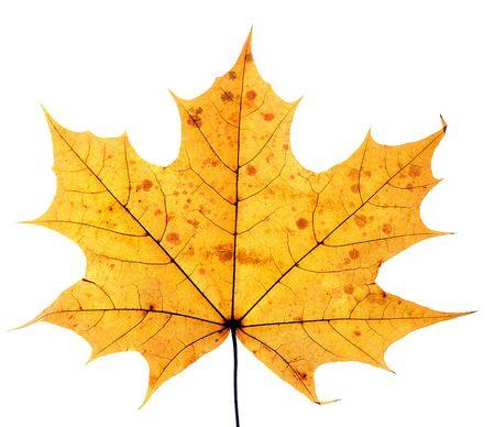 equinox: closeup of maple leaf