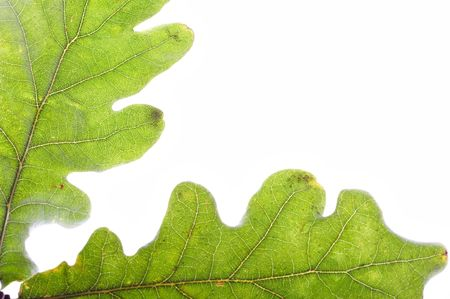 equinox: closeup of two oak leaves