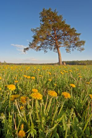 dandelion field with a lonely tree photo