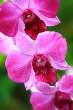 pink orchids photo