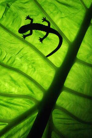 backlighting: silhouette of a lizard on leaf