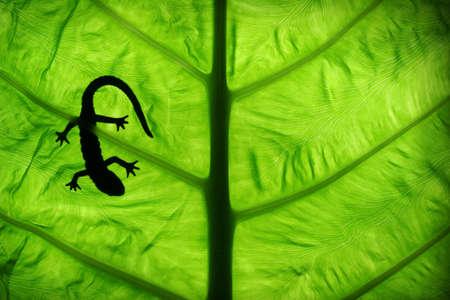 backlighting: lizard on lgreen leaf Stock Photo