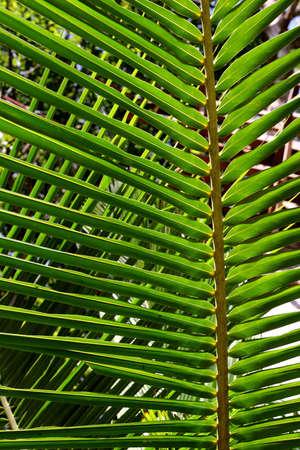 coconut leaves Stock Photo - 2733044