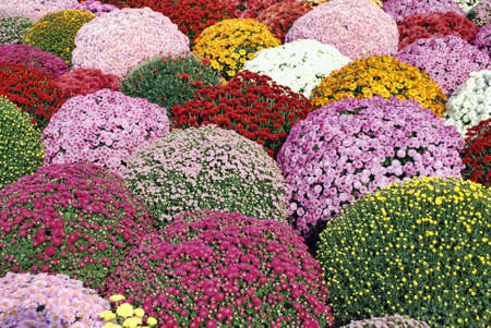 chrysanthemum multicolored flower photo