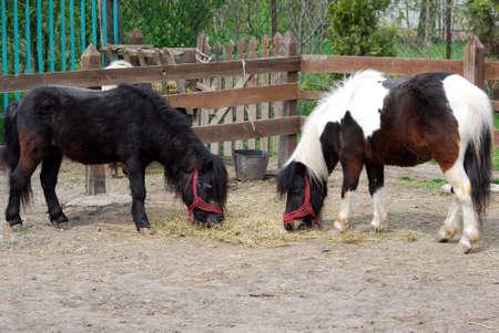pony horses photo
