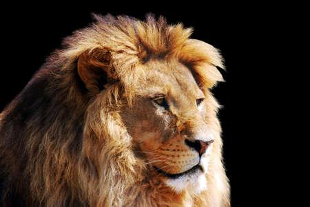 lion head  Stock Photo