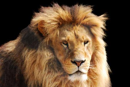 dangerous lion: lion head