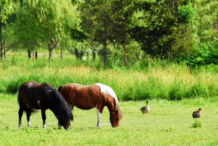 horses on pasture photo