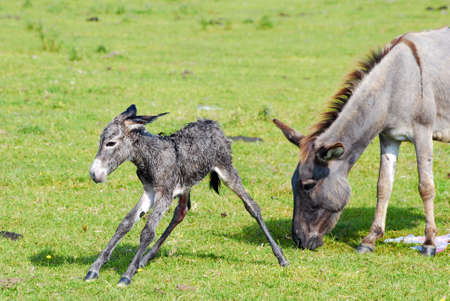 totter: just born little donkey first step