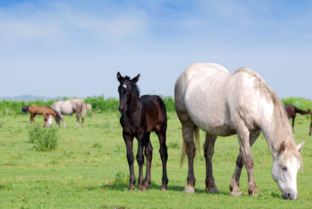 white horse and black foal on pasture