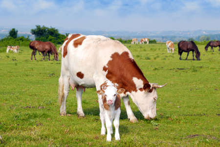 cows calf and horses on pasture Stock Photo - 7391622