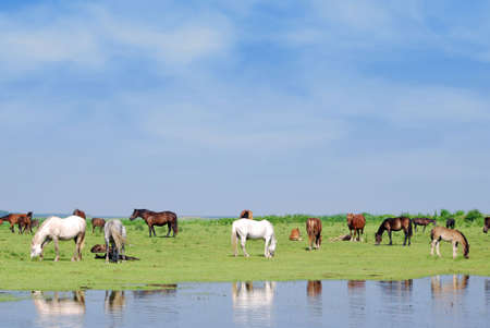horses on watering place photo