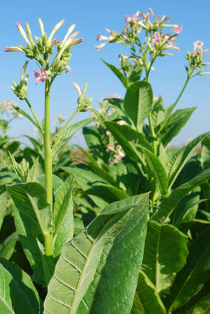 tobacco plant with flower Stock Photo - 7903066