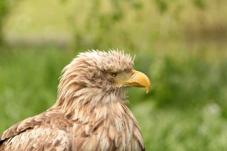haliaeetus: eagle portrait haliaeetus albicilla  Stock Photo