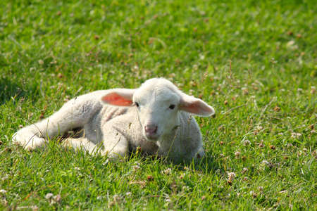 little white lamb lying in pasture Stock Photo - 9688229