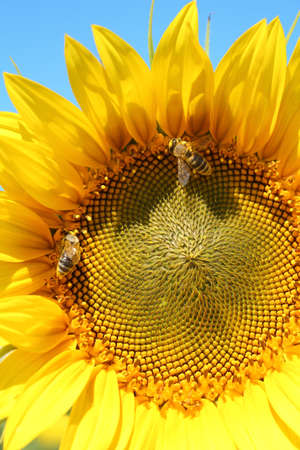 two bees on sunflower  photo