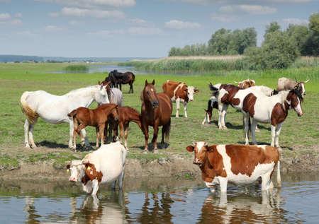 dairy farm: farm animals on river