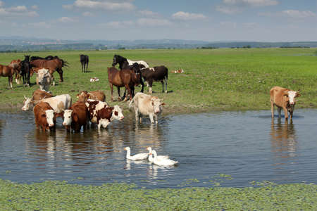cows horses and geese