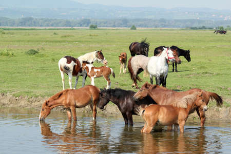 herd of horses on river Stock Photo