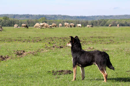 sheepdog: sheepdog with herd of sheep in background
