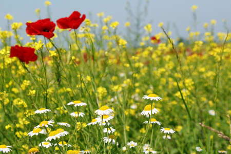 chamomile and poppy flowers photo