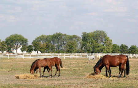 corral: foals and horses eat hay in corral ranch scene Stock Photo