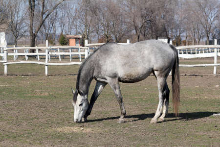 corral: grey horse in corral farm scene Stock Photo