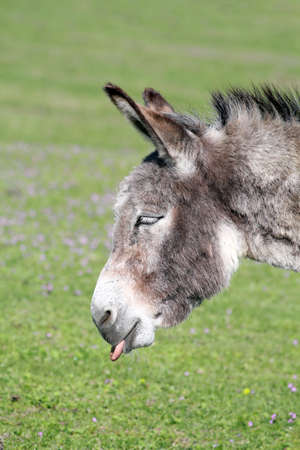 jack ass: funny donkey puts out a tongue portrait
