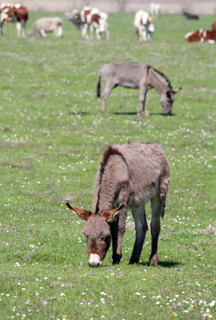 jack ass: donkeys on pasture farm scene