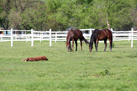 corral: horses grazing in corral farm scene Stock Photo