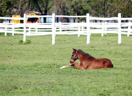 corral: brown foal lying in corral Stock Photo