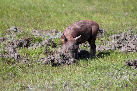 sift: little pig in a mud farm scene Stock Photo