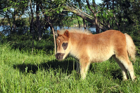 cute brown pony horse foal on pasture  photo