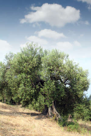 sithonia: vecchio olivo Sithonia Grecia Archivio Fotografico