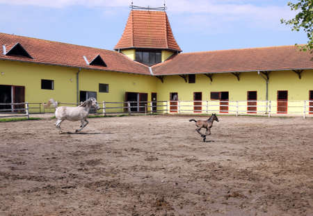 lipizzaner: Lipizzaner horse and foal running in corral