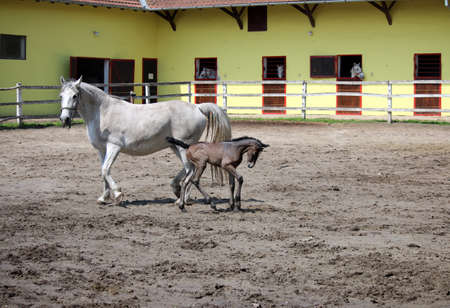 lipizzaner: Lipizzaner horses and foal on farm Stock Photo