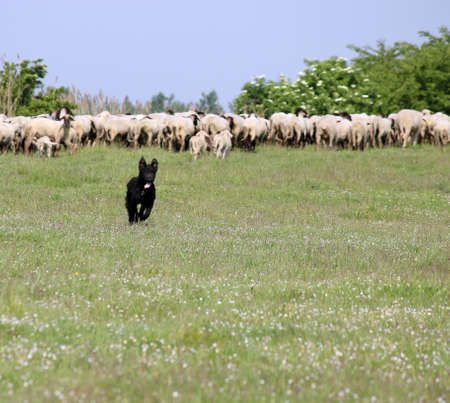 happy sheepdog running on field photo
